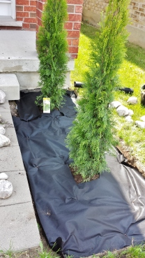 Cedar planting and anti-weed fabric application