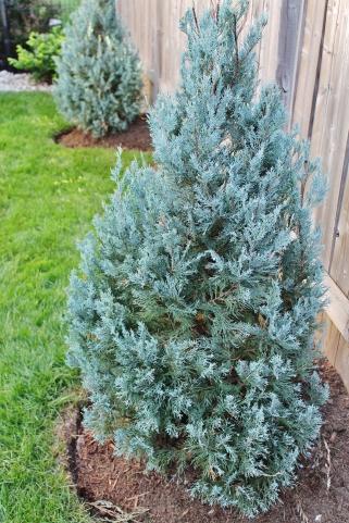 Juniper planting